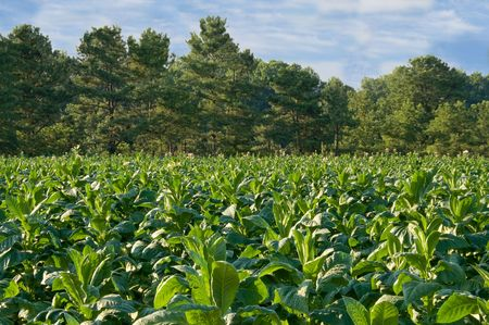 tobacco plants: Healthy tobacco plants on a farm field. Stock Photo