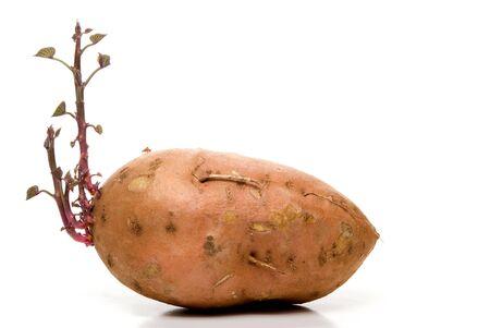 sweet potato: A sweet potato with brand new growth. Stock Photo