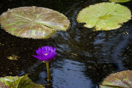 waterlilly: A Water Lilly in a pond in a botanical garden. Stock Photo