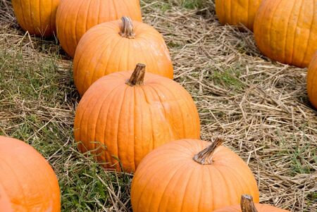 A large collection of plump and juicy holliday pumpkins. Stock Photo - 5615454