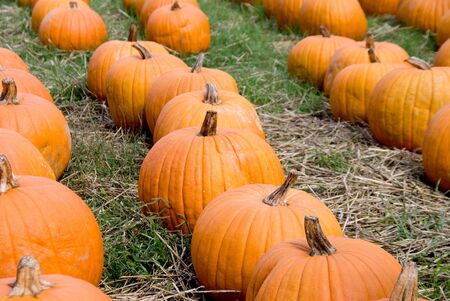 A large collection of plump and juicy holliday pumpkins. Stock Photo - 5615396
