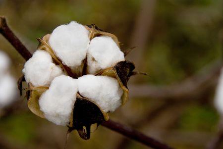 planta de algodon: Los bols esponjoso de la planta de algod�n.