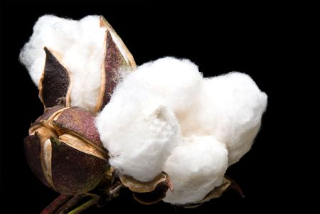 cotton crop: The fluffy bolls of the cotton plant. Stock Photo