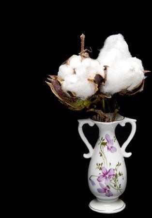 plant gossypium: Il birichino tagliavano della pianta del cotone.