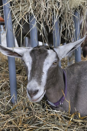 A close-up image of an inquisitive goat photo