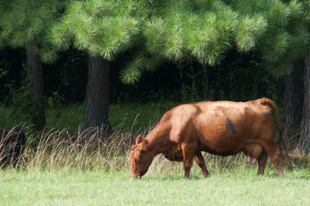 A cow grazing in a pasture of grass Stock Photo - 7383799