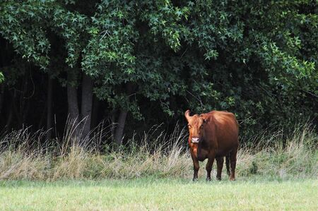 A cow grazing in a pasture of grass photo