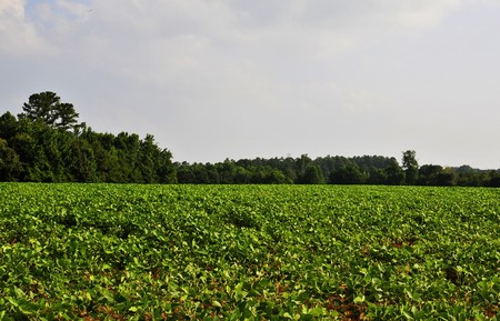 A rural farm lush sprawling soybean field photo