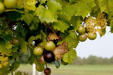 포도 나무에 맛있는 muscadine scuppernong 포도