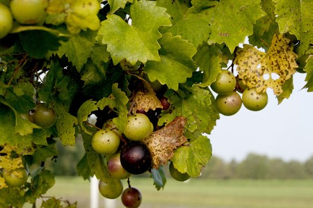 grape field: Delicious muscadine scuppernong grapes on a vine Stock Photo