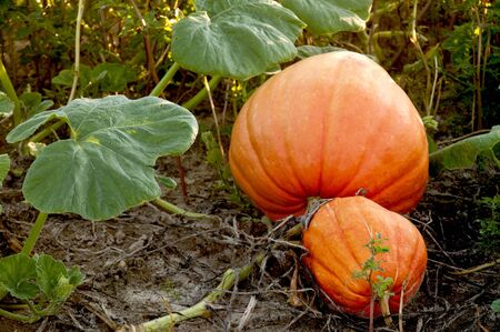 A pumpkin patch with fresh ripe vegetables Stock Photo - 8046610