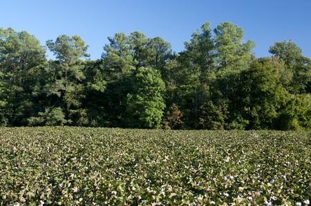 planta de algodon: Las bols esponjoso de la planta de algod�n.  Foto de archivo