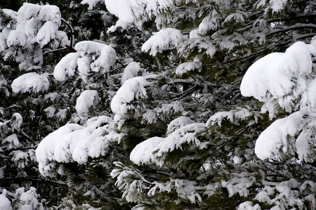 inclement weather: Snow on pines tree after a blizzard