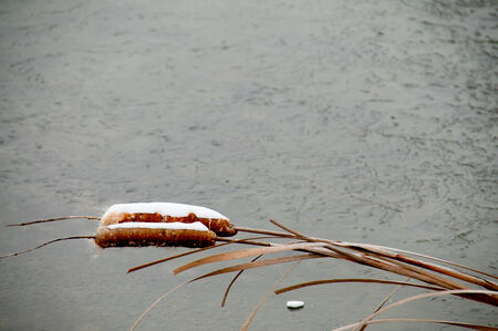 Cattails with a covering of snow by a frozen pond Stock Photo