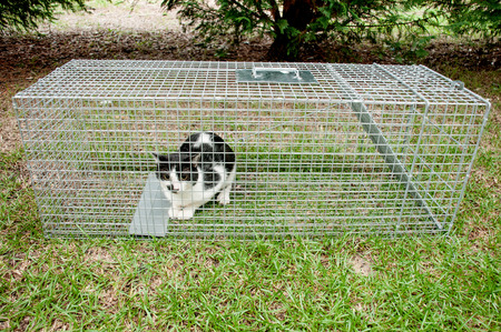 Cat trapped in a humane non lethal animal trap photo