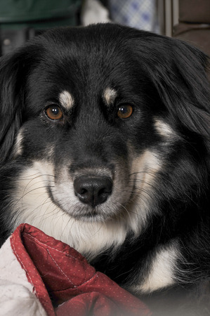 full blooded: Portrait of a full blooded pedigree border collie female