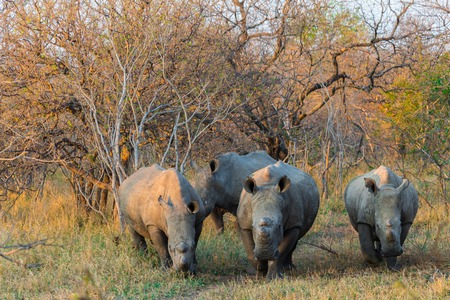Rhinoceros at sunset in October 2017 on a safari in South Africa Stock Photo