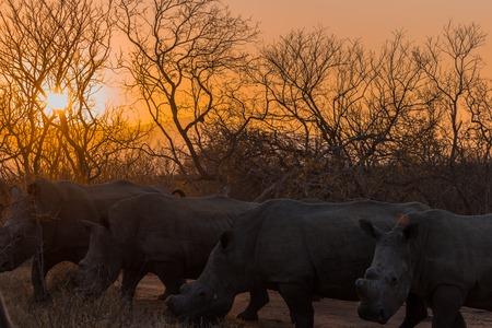 Rhinoceros at sunset in October 2017 on a safari in South Africa Reklamní fotografie