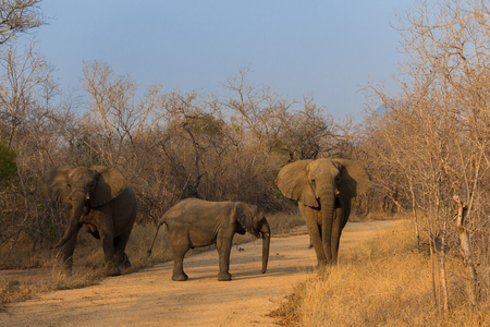 African elephants on a safari through South Africa in the Kruger National Park in October 2017