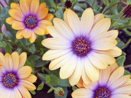 Composici�n floral Dimorfoteca planta con colores amarillo y violeta