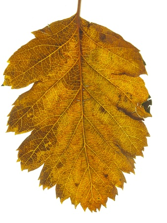 tree leaf fall in autumn on white background