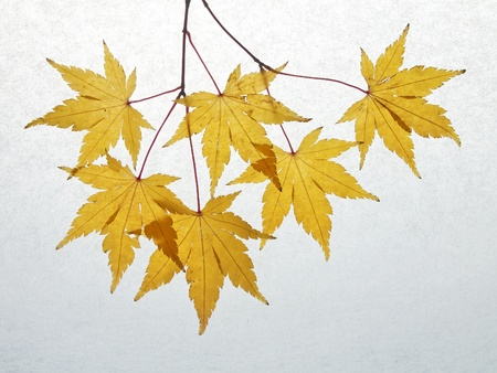 Japanese maple yellow leaves in autumn and abstract background photo