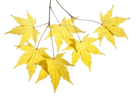 Japanese maple yellow leaves in autumn and white background