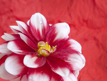 red  and white dahlia flower on red background Stock Photo