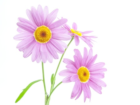 beautiful daisies roses on white background Stock Photo