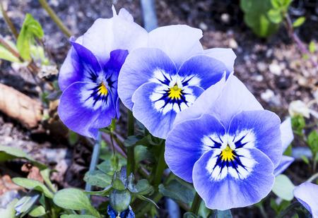 viola purple flower in garden Stock Photo
