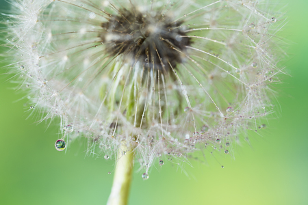 people relax: Dandelion with drops of dew Stock Photo