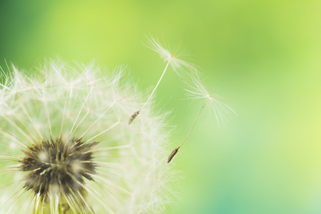 dandelion seed: The seeds which are flying away from a dandelion Stock Photo