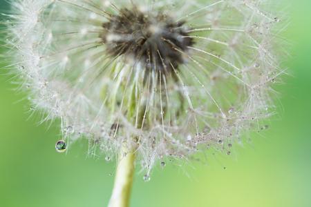 Dandelion with drops of dew Imagens