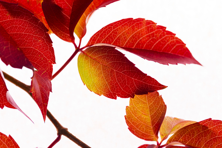 tree leaves with red autumn color
