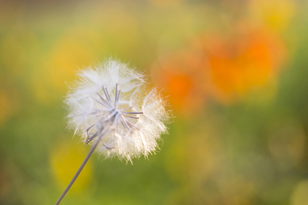 dandelion with blurred background Stock Photo