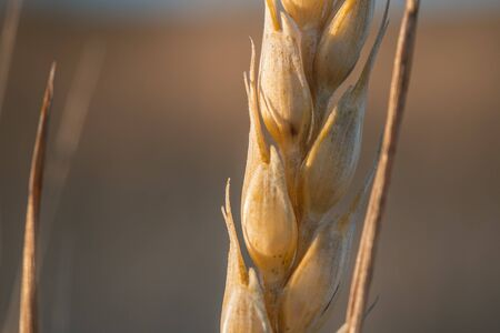Spike of organic barley in the golden hour. copy space text