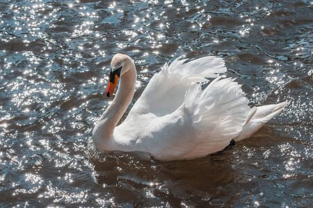 white swan swimming in the sparkling waters of a river. space to copy text
