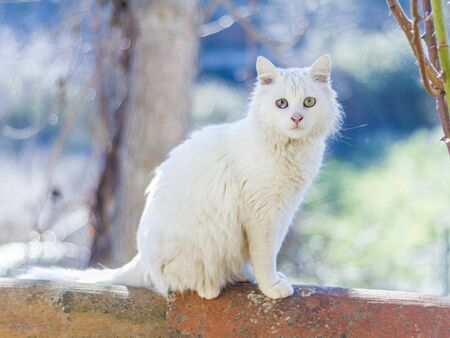 White cat sitting on Arab roof tiles with blur background. copy space