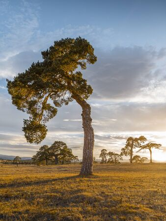 Crooked tree at sunset in campisabalos, guadalajara, Spain
