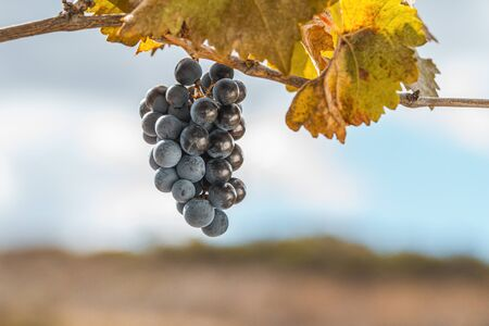 Bunch of grapes on the vine whit a blurred sky in the background.space to copy text