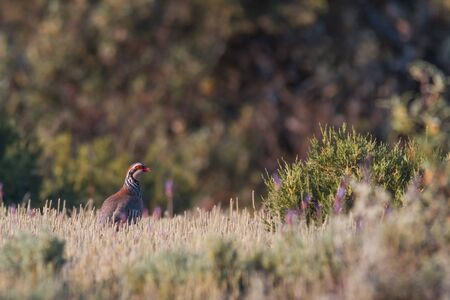 the wild red partridge in nature, whit blurred space for copy text 版權商用圖片