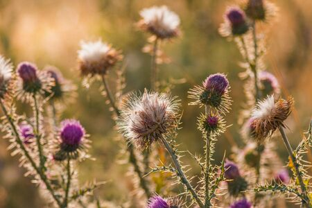 Thistle flowers in summer at sunset with a golden background