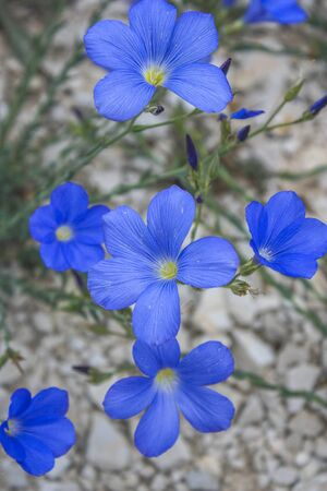 Blue wild flax flowers on a white gravel background