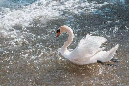 white swan swimming in the sparkling waters of a river of Ayllon, Segovia, Spain. space to copy text