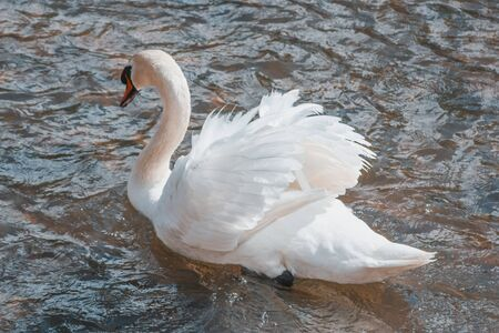 white swan swimming in the sparkling waters of a river of Ayllon, Segovia, Spain.