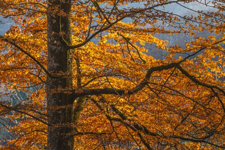 Vintage beech branches with orange autumn leaves in sunlight against a blue background