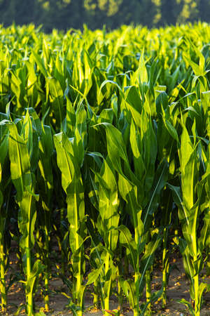 Young green corn plants irrigated by spray 版權商用圖片