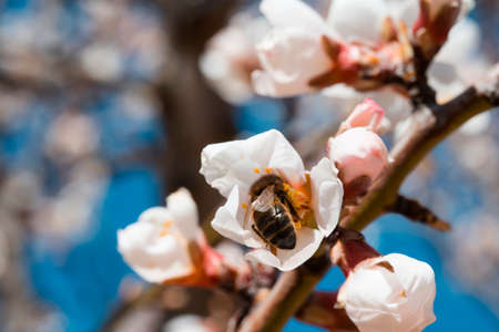 Bee sipping in pink almond blossom. Copy space