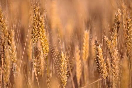 golden barley spikes. selective focus. copy space