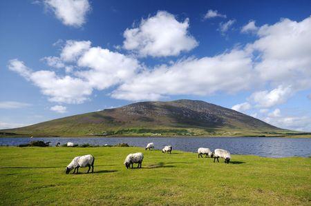 sheeps: The sheeps